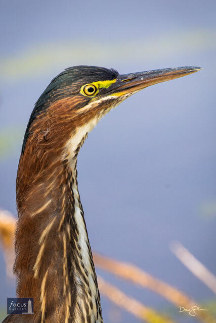 Close-up of a Green Heron.