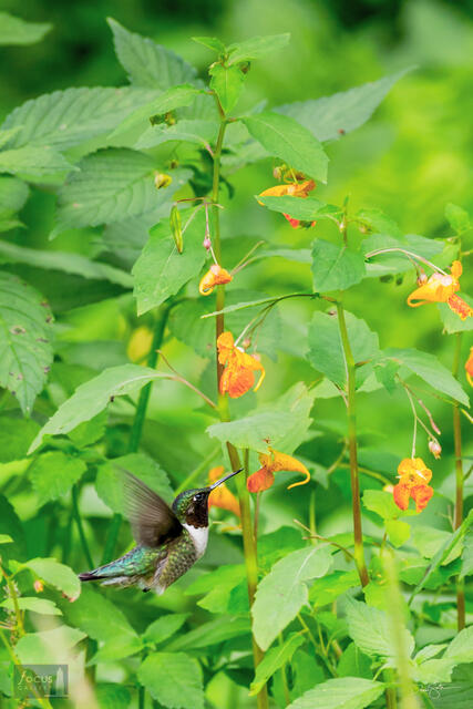 A male Ruby-throated Hummingbird feeds on nectar from jewelweed blossoms.
