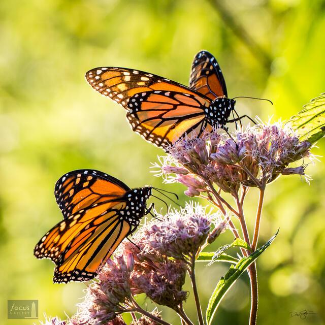 Two Monarch Butterflies nectar on Joe Pye Weed at Arcadia Marsh Nature Preserve, Michigan.