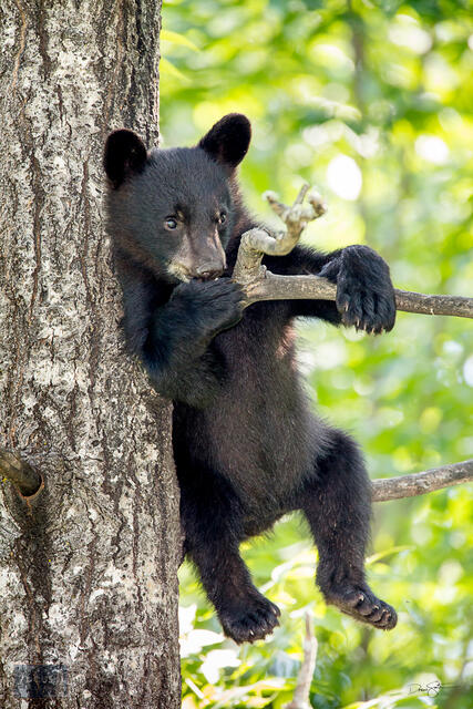 Young black bear cub hanging out up a tree.