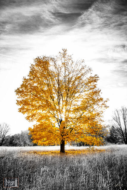 Selective color photograph of a colorful tree in autumn with the sun rising behind it.