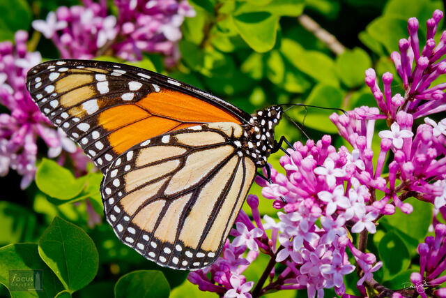Monarch butterfly on lilac blossoms.