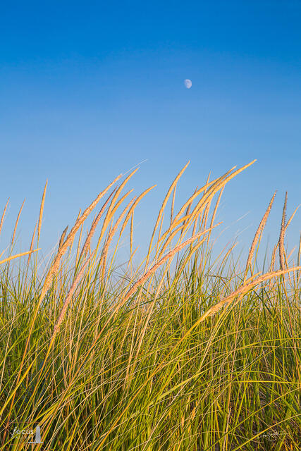 Dune grass seed heads with blue sky and moon behind.