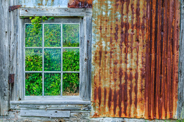Photograph of green plants taking over an old weathered barn building.