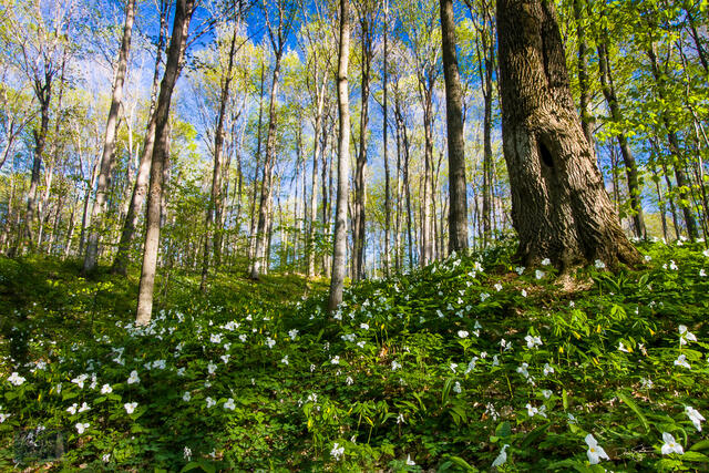 Spring wildflowers fill the forest floor at Pete's Woods in the Arcadia Dunes Nature Preserve.