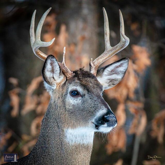 Regal Backyard Buck