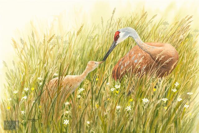 Original watercolor painting of a Sandhill Crane adult with a young chick.