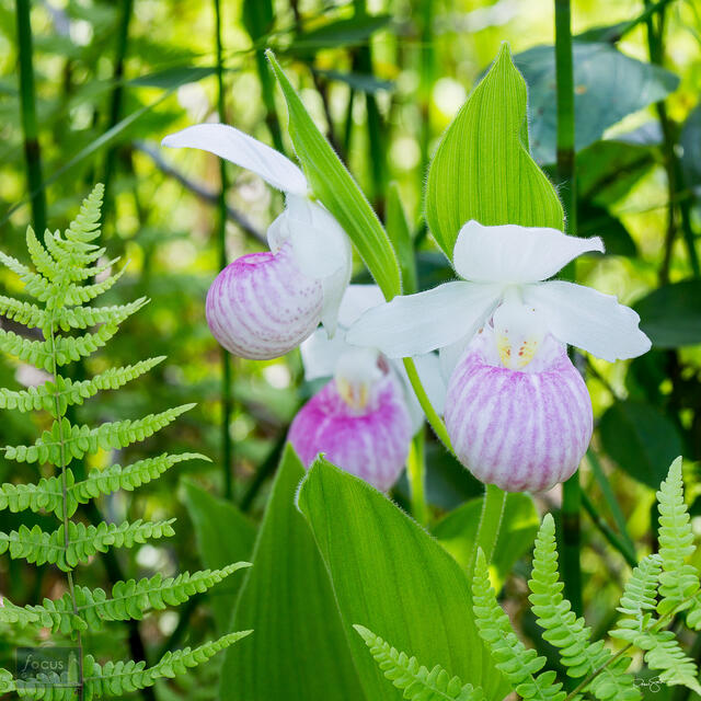 Three Showy Lady's Slipper orchids and ferns.