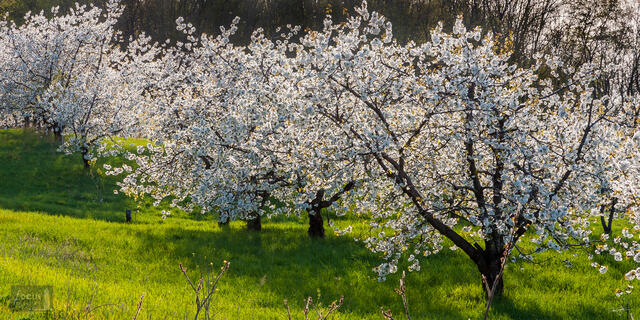 Flowering orchard trees in spring time.