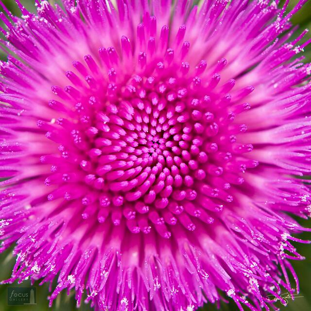 Thistle blossom close-up.
