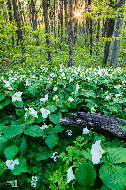 Sunset through woods filled with trillium wildflowers.