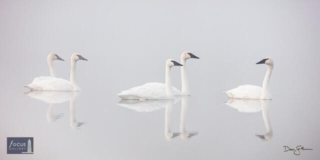 Trumpeter Swan Greeting Party