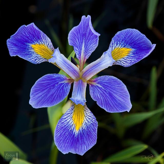 Detail of a wild Blue Flag Iris blossom.