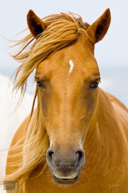 Wild horse portrait on Assateague Island.