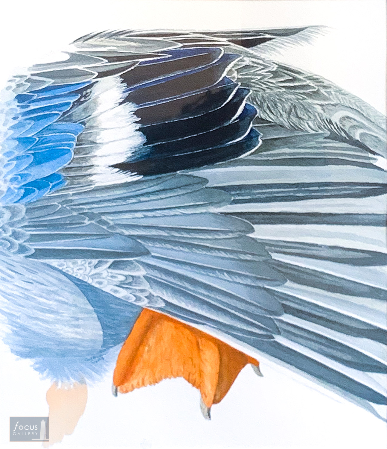 Original watercolor painting of details of the feathers of a Northern Shoveler duck stretching.
