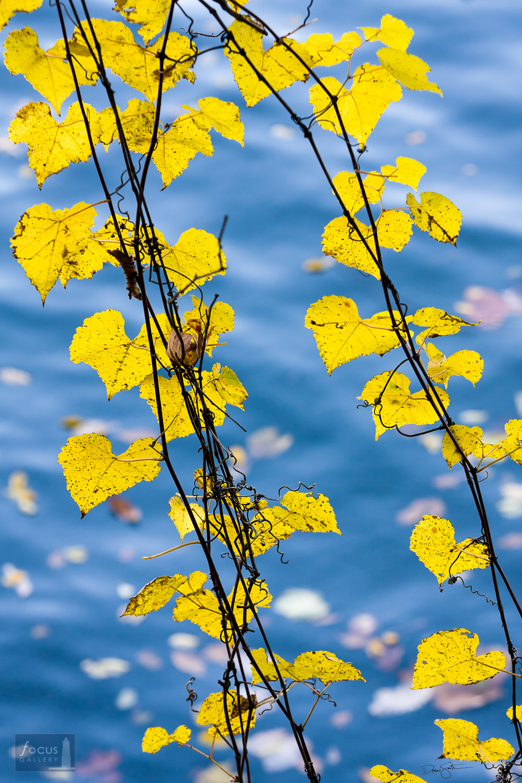 Riverbank grape vine leaves backlit against the Potomac River.