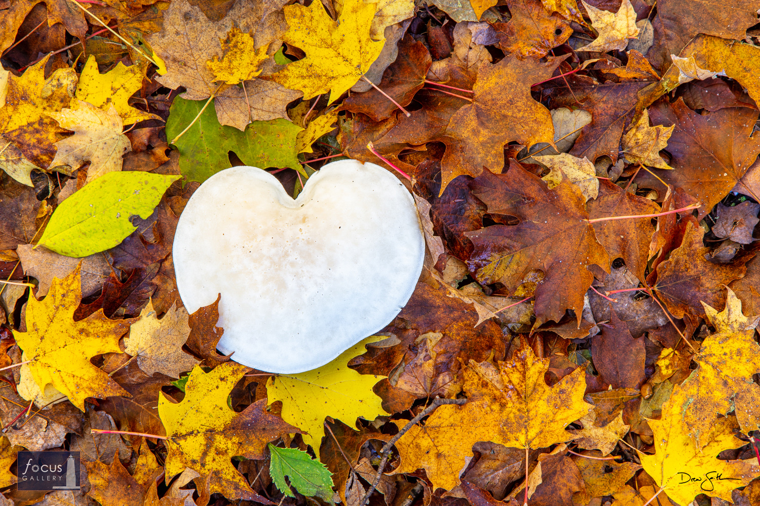 Photo © Drew Smith A heart-shaped mushroom surrounded by beautiful fall leaves - Autumn Love! This image is also available in...