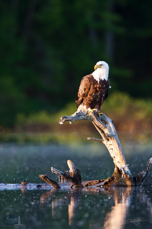 Bald Eagle (Haliaeetus leucocephalus) on a snag at dawn on Lake Dubonnet, Michigan.