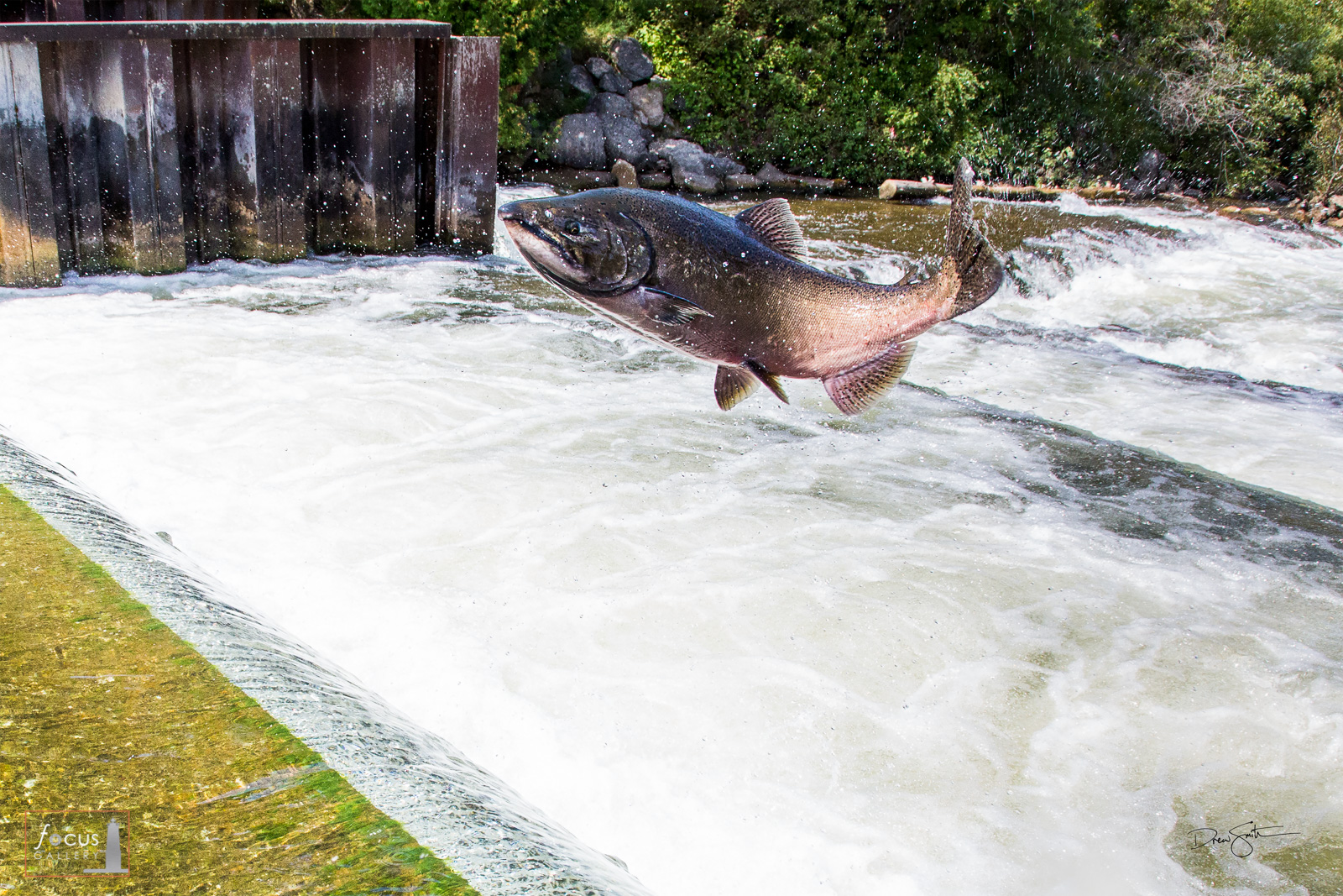 A large salmon jumps up a fish ladder at Homestead Dam on the Betsie River in Benzonia, Michigan.