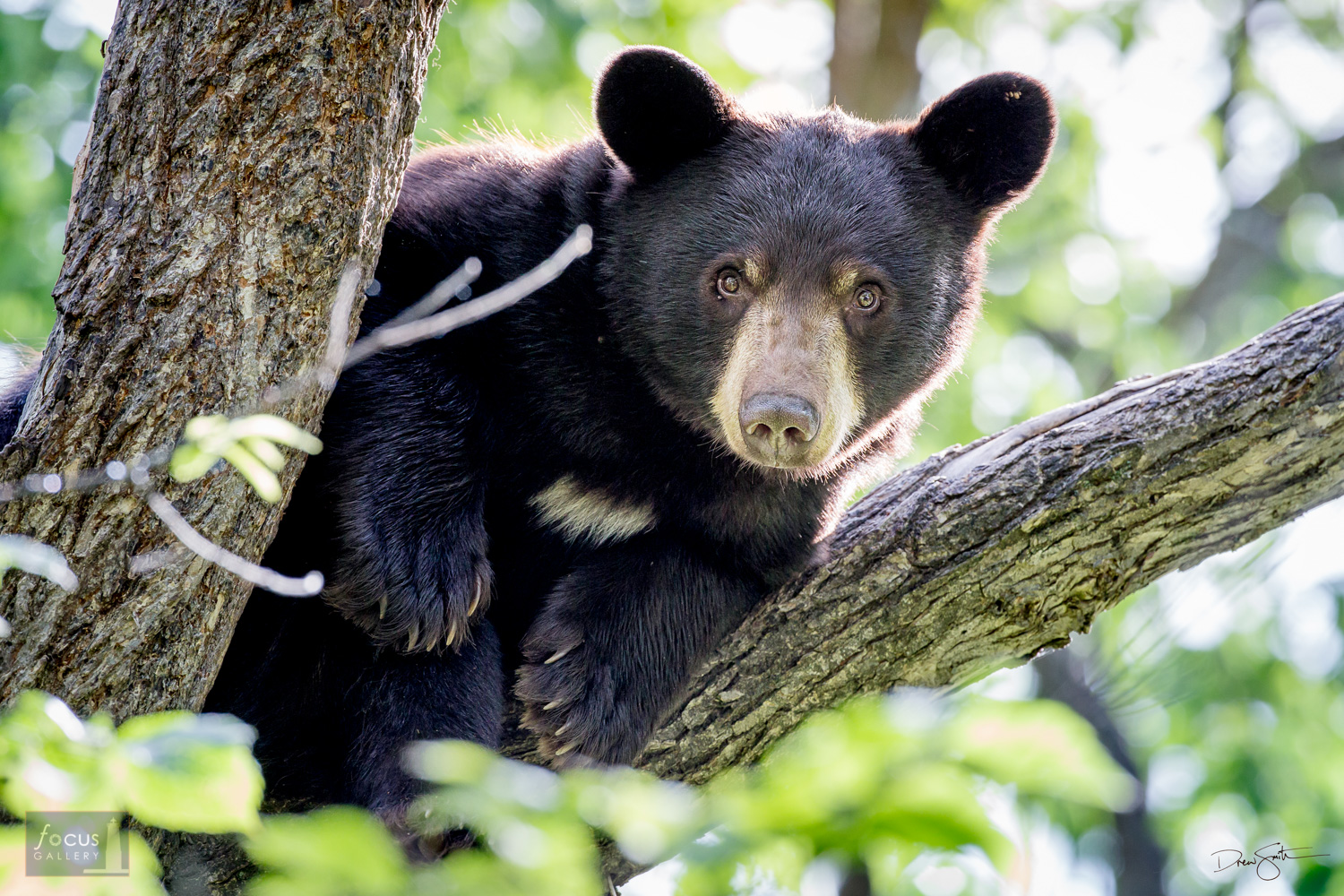 Young black bear in a tree.