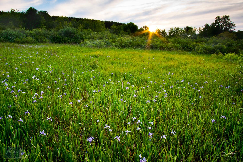 Sunset over wild Iris flowers at Upper Herring Lake Nature Preserve, Benzie County, Michigan.