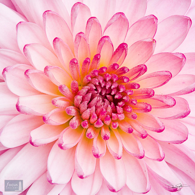 Detail of a chrysanthemum blossom.