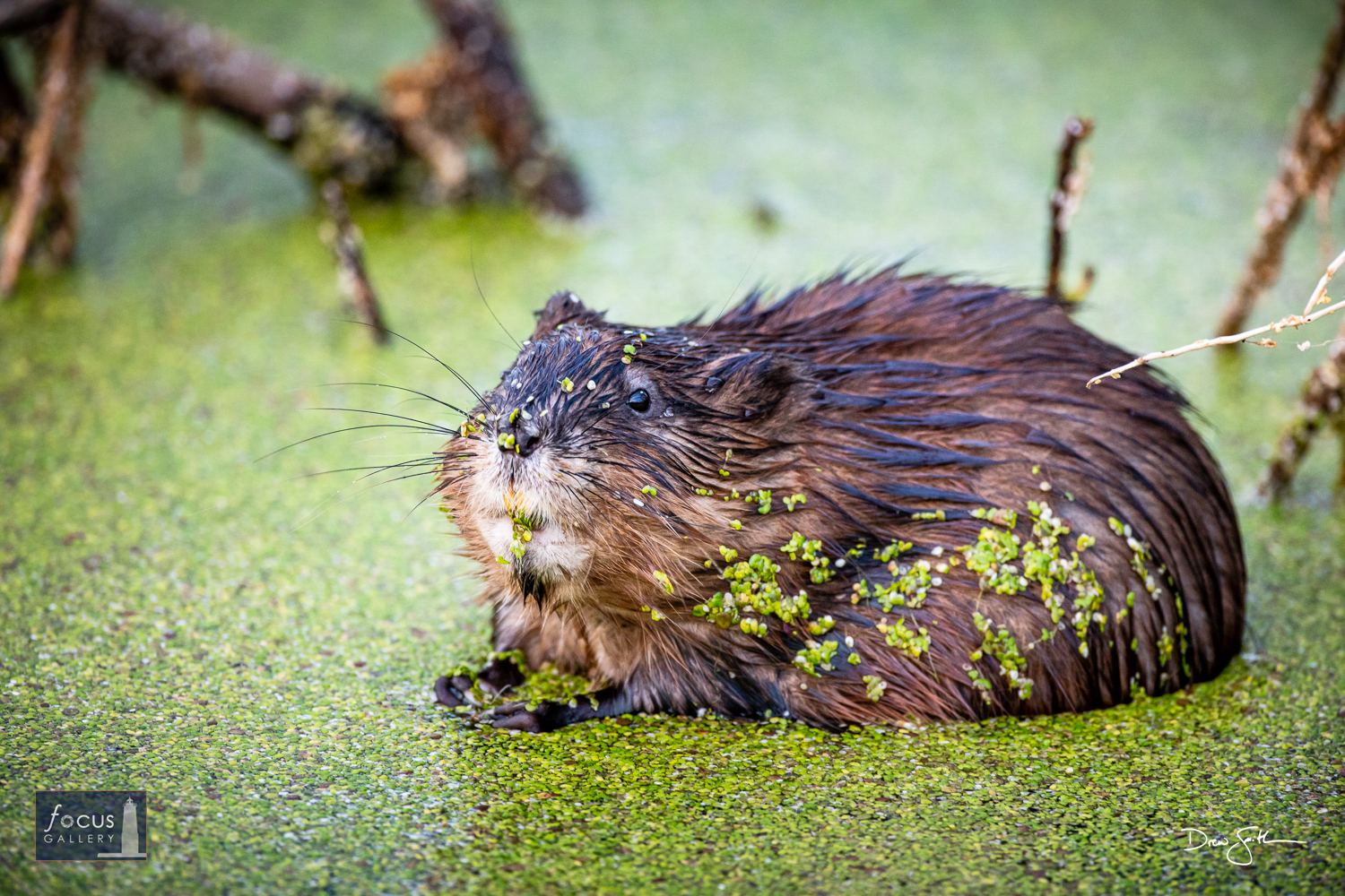 """Photo © Drew Smith It's not every day that you see a muskrat and think """"aww, cute!"""" - but this one at Arcadia Marsh Nature Preserve..."""