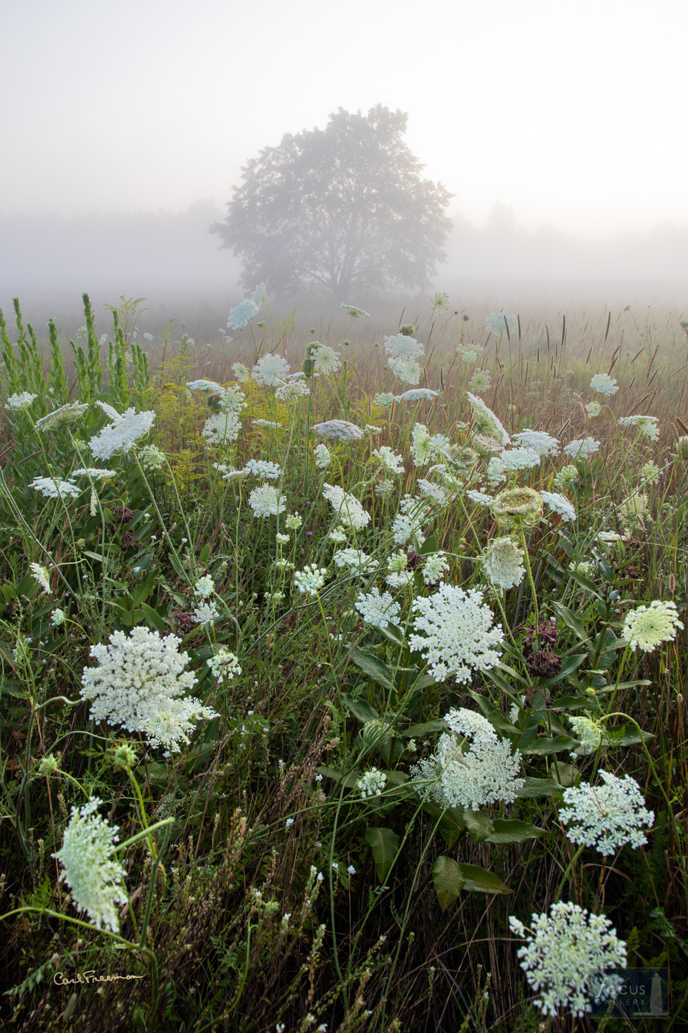 Photo © Carl Freeman Queen Ann's Lace decorate the Dryhill Grasslands off of Keillor Road. This image was taken on land protected...