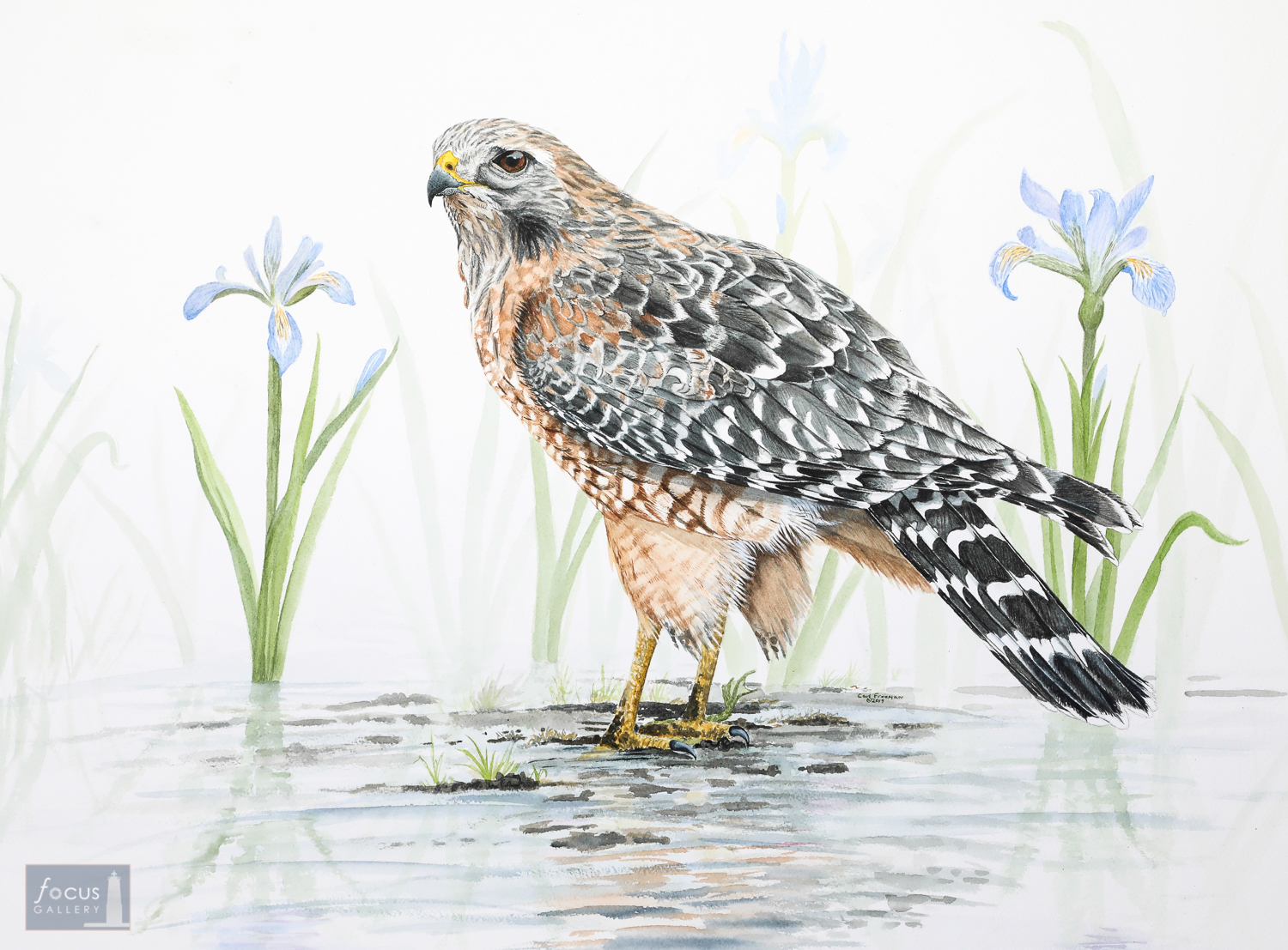 Original watercolor painting of a Red-shouldered Hawk and iris flowers.