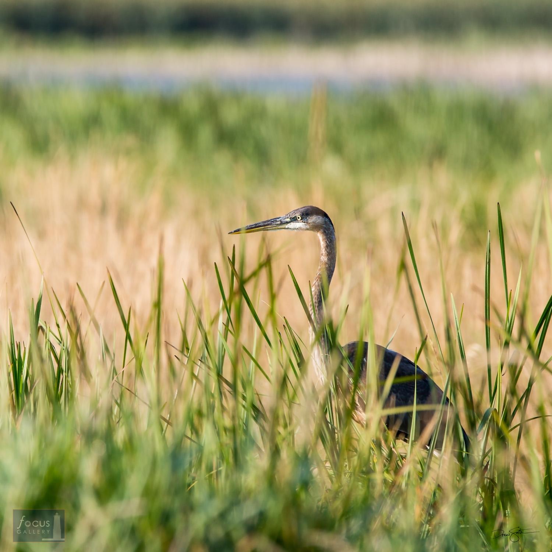 Great Blue Heron in Marsh, Arcadia Marsh Nature Preserve, Manistee County, Michigan.