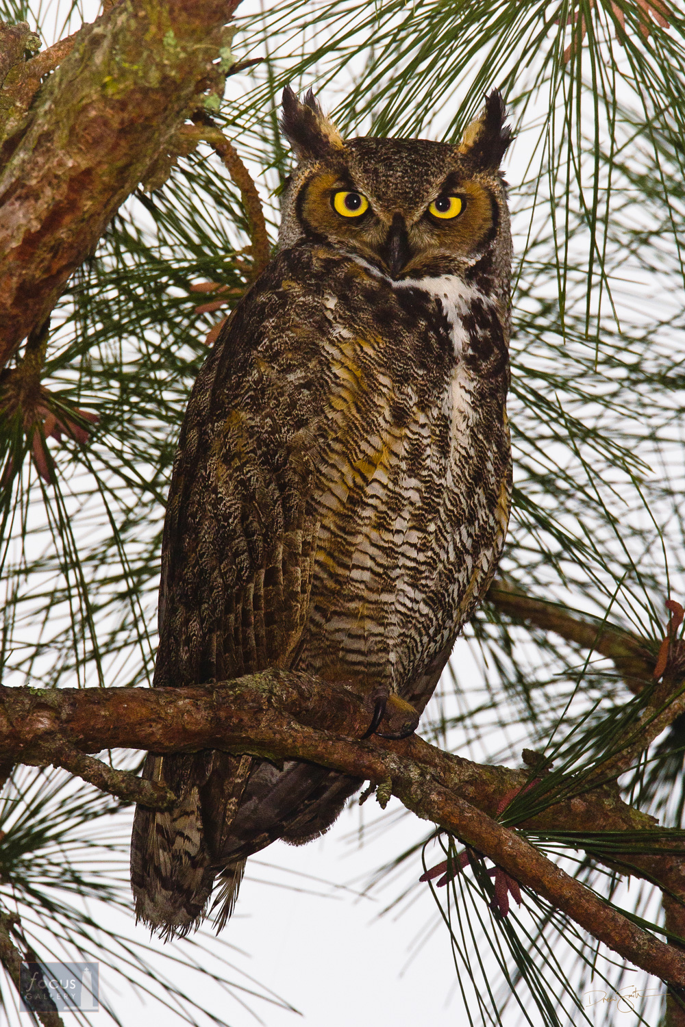 A Great Horned Owl (Bubo virginianus) perched in a pine tree at St. Marks National Wildlife Refuge.
