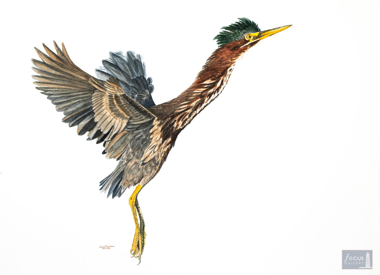 Original watercolor painting of a Green Heron bird taking off.