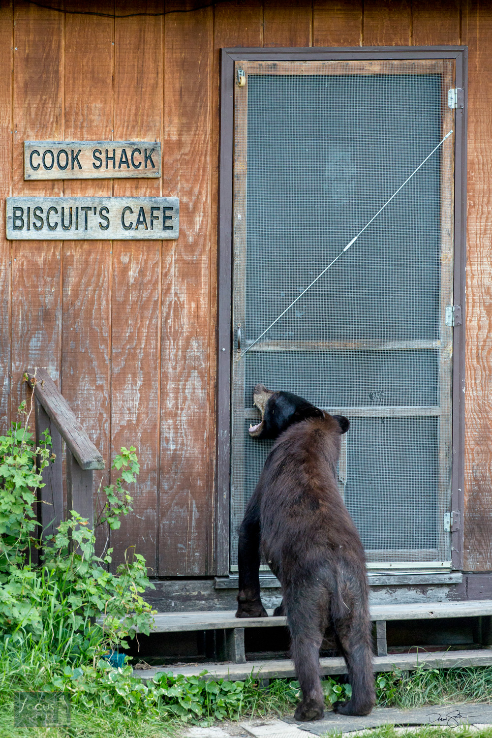 A young black bear chews on the door of the Cook Shack trying to get in.