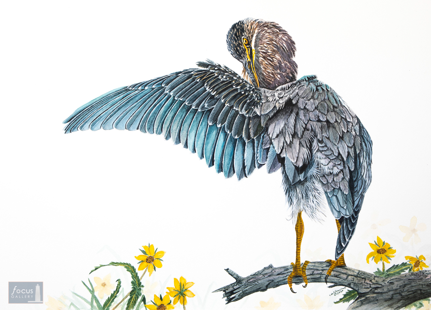 Original watercolor painting of a juvenile Green Heron stretching its wings with yellow flowers nearby.