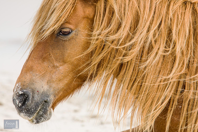 A feral horse stallion on the beach at Assateague Island.