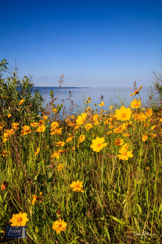 Coreopsis flowers along the shoreline of Crystal Lake.  Go Blue!