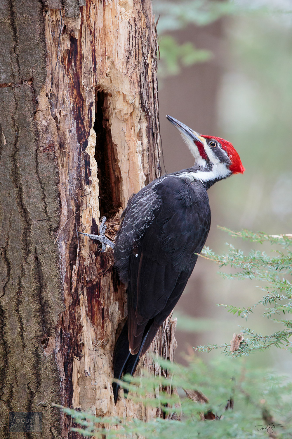 Pileated woodpecker excavating a cavity.