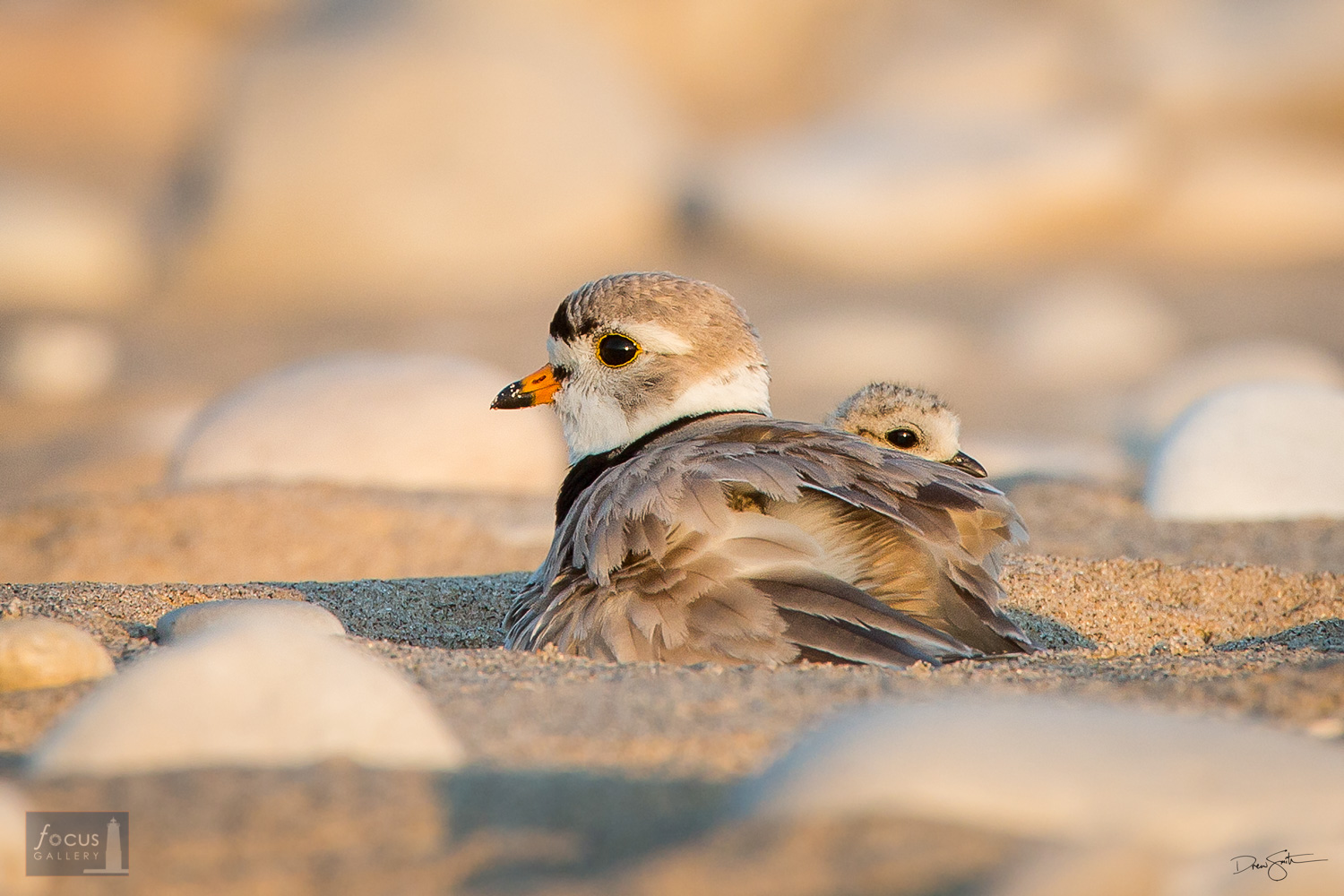 Piping plover adult with chick on the beach near Glen Haven, Sleeping Bear Dunes National Lakeshore.