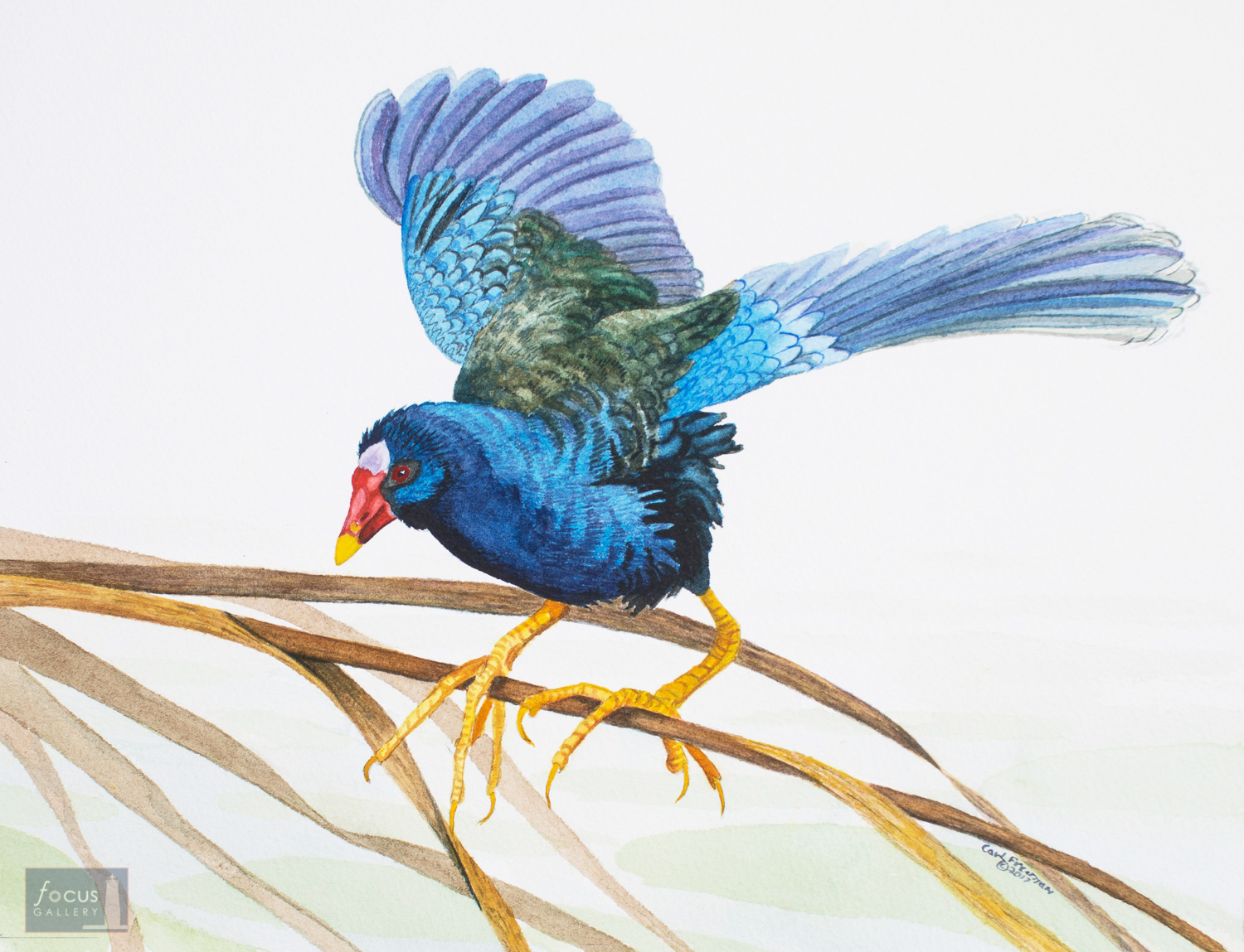 Original watercolor painting of a Purple Gallinule bird with its wings stretched out.