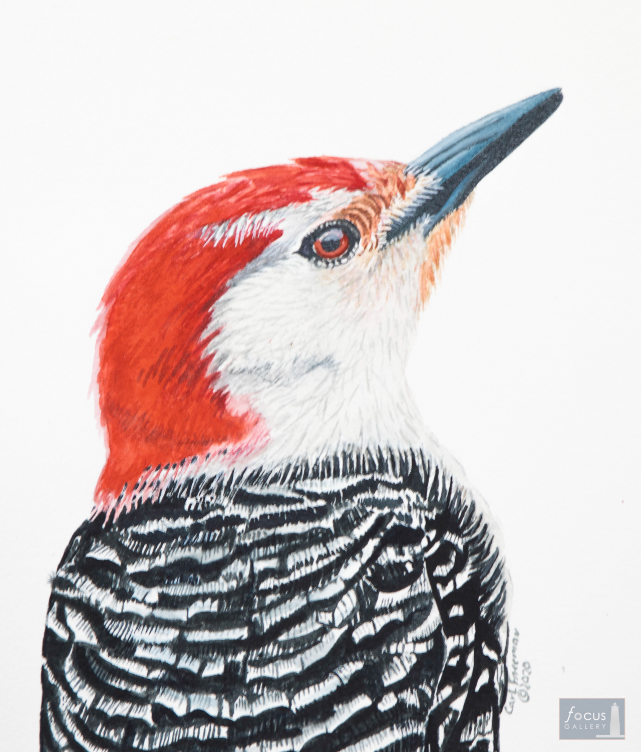 Original watercolor painting of the detail of a Red-bellied Woodpecker.