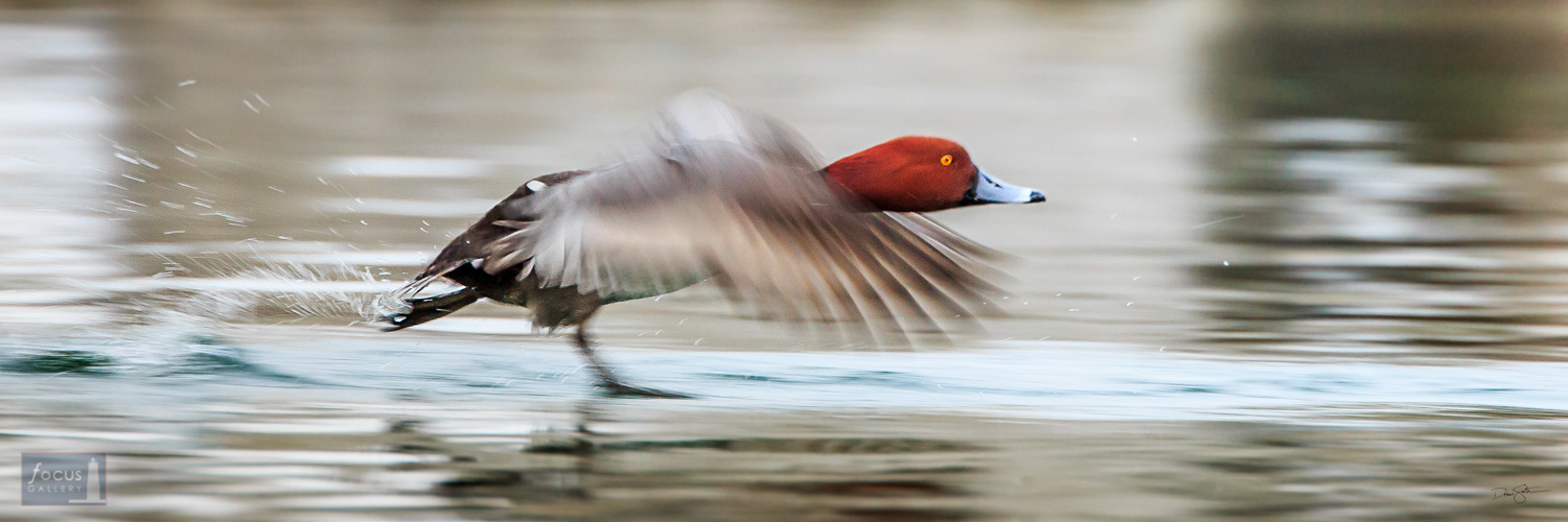 Redhead duck takes off from the Elk River in Elk Rapids, Michigan.