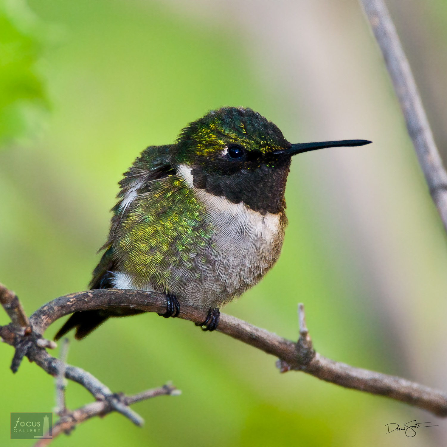 A male Ruby-throated Hummingbird (Archilochus colubris) perched on a branch.