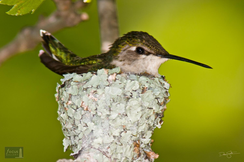 Ruby-throated Hummingbird (Archilochus colubris) on its nest.