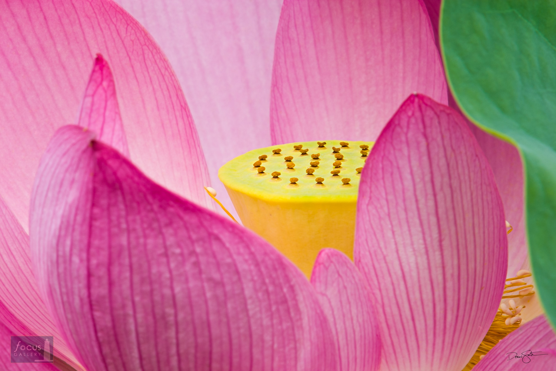 Detail of a Sacred Lotus (Nelumbo nucifera) blossom.