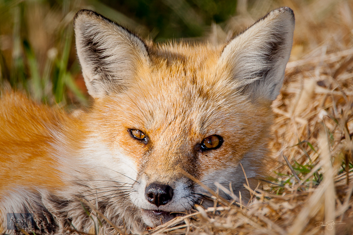 A red fox looks at the camera.