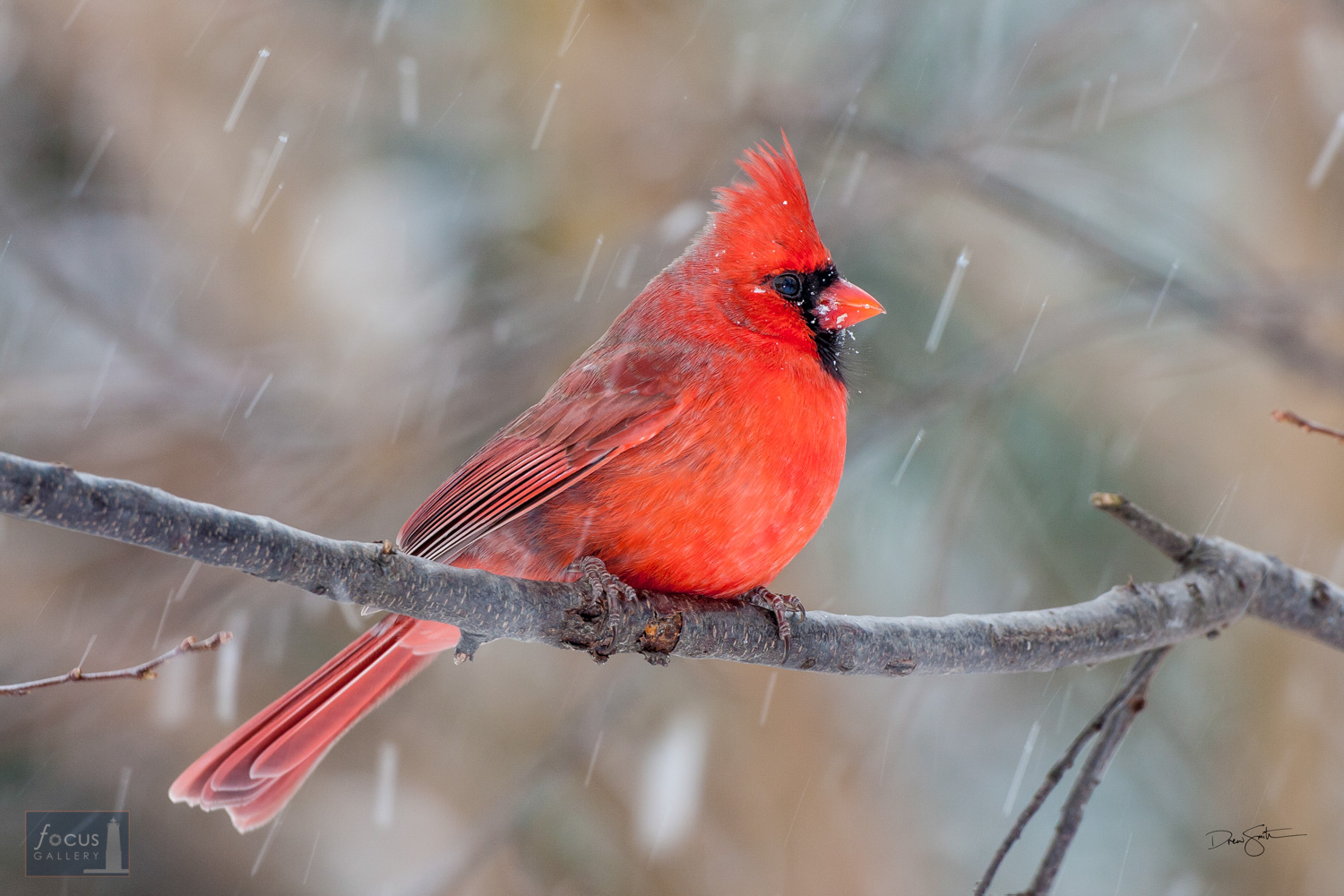Northern cardinal in snow.