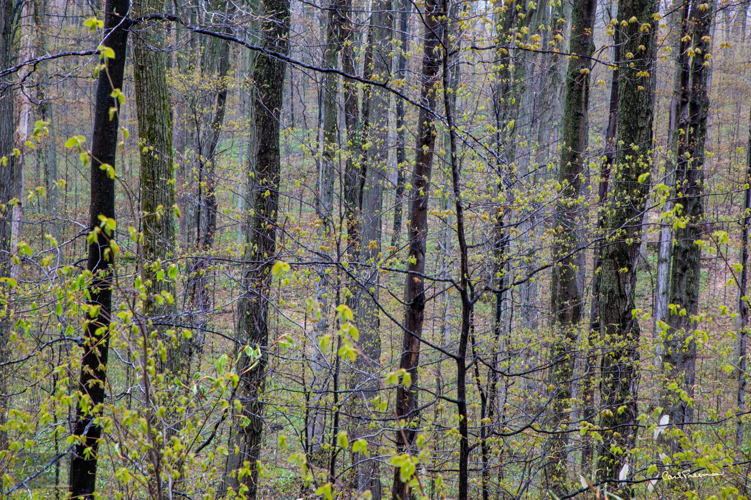Photo © Carl Freeman Wet trunks after a spring rain and new green leaves are just as pleasing as fall colors. This image was...