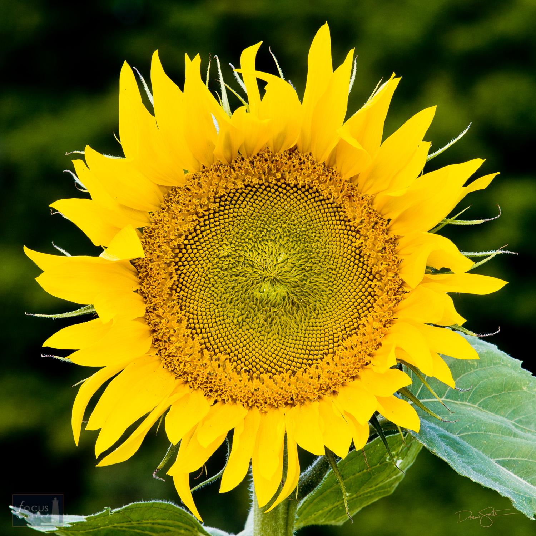 Close-up of a sunflower.