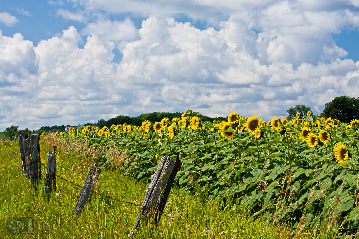 Field of sunflowers with puffy white clouds in the sky.