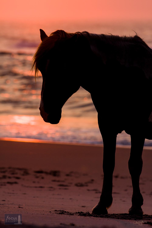 A wild stallion stands on the Atlantic shoreline at Assateague Island.
